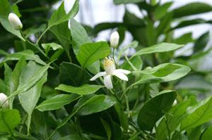 Decotanflower